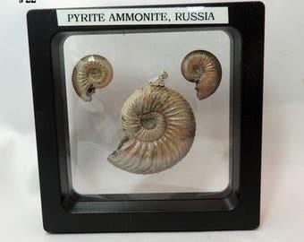 Pyrite Ammonite set from Russia S22 Three whole ammonites  30 grams Jewelry Lapidary display