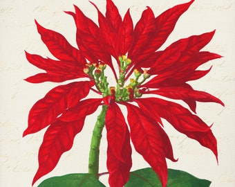 Holiday Poinsettia -Christmas Gifts -Prints for Decor -Holiday Art -Noel -Xmas -Flowers -Botanical -Tulips -Boxing Day