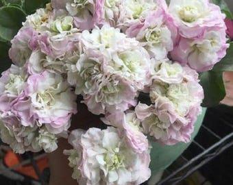 Geranium Light Purple White Light Green Big Blooms Perennial Flowers Seeds 10pcs Strong Fragrant Garden Flowers