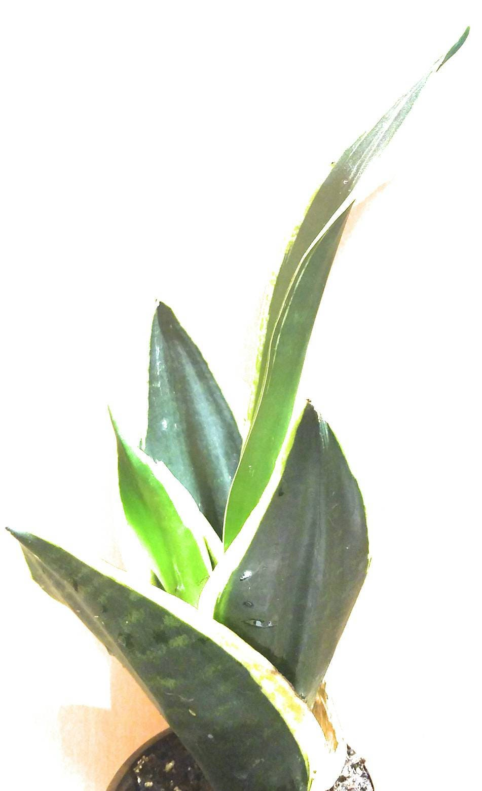 snake plant mother in law 39 s tongue sanseveria air. Black Bedroom Furniture Sets. Home Design Ideas