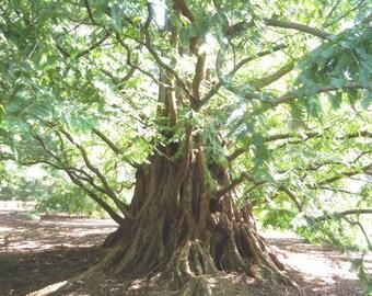 Dawn Redwood 10 Seeds, Metasequoia - Bonsai/Garden