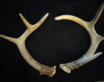 Real Buck Antlers 7 Point
