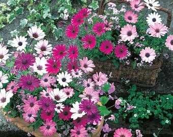 African Daisy 'Daisy Mae Mixed' Seeds / Osteospermum ecklonis (syn. Dimorphotheca)