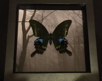 Gothic Taxidermy Real Butterfly - Papilo Karna