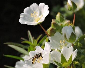 Organic Meadowfoam Seed Oil