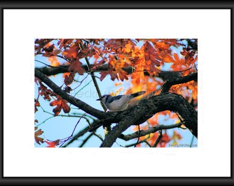 White-breasted Nuthatcher, Photography, Free shipping, Print, Framed Print, Canvas Wrap, Canvas w/ floating frame. Nature Pic, animal, Bird