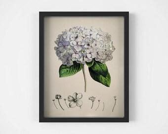 Hydrangea art, Botanical wall art, Flower art print, Vintage illustration, Botanical plant print, Home wall decor, 11x14 digital download
