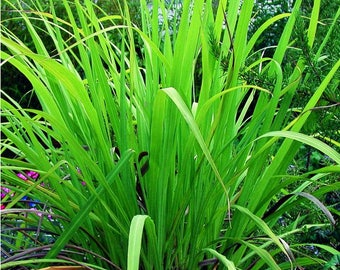 1000 Seeds Cymbopogon martinii  Seeds, Palmarosa Seeds rosha grass Seeds