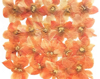 Pressed flowers, light orange Daffodil 20pcs for floral art craft card making scrapbooking