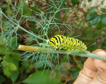 Organic Dill Seeds; Dill Seeds; Grow Your Own Dill; Dill for pickles; Pollinator plant; Annual Herb; herb seeds
