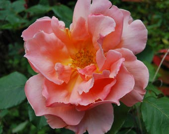 The Perfect Rose, English countryside, photo print, Photography, Picturesque print, England,