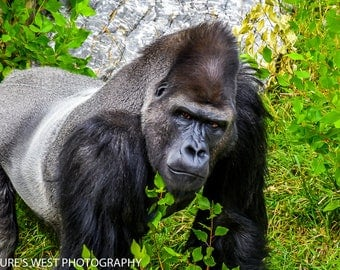 Gorilla, Hogle Zoo, Utah, Wildlife Photography, Nature Photography, Fine Art Photography, Wall Art, Home Decor, Gift