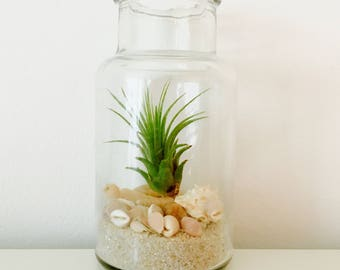 Air plant - terrarium - shell air plant terrarium kit-