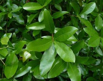 Laurel Oak   Acorns   Quercus laurifolia   20 seeds