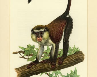 Vintage lithograph of the mona monkey from 1956