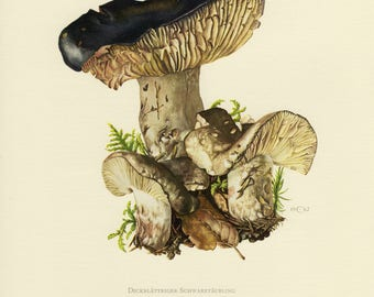 Vintage lithograph of the blackening brittlegill or blackening russula from 1962