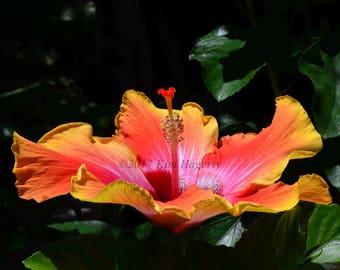 Hibiscus 1956 Multi