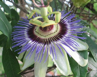 Passiflora caerulea Blue Crown Pint Plant Cold Hardy FREE SHIPPING
