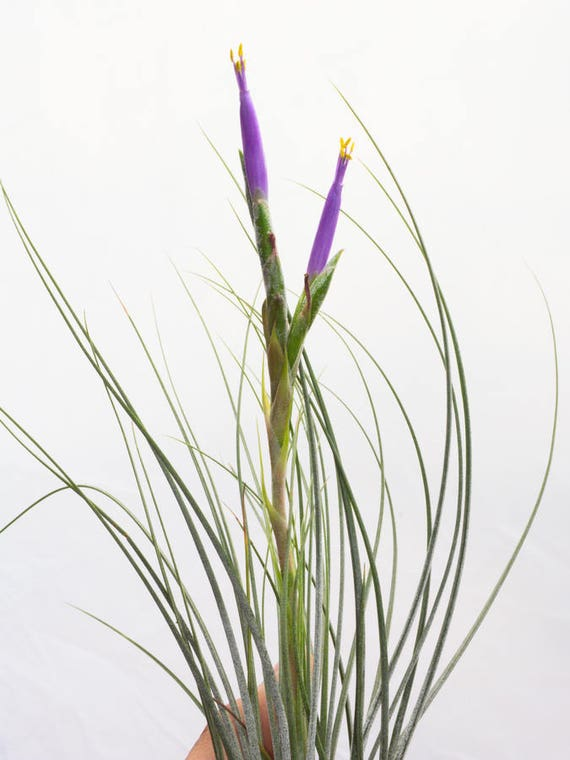 Large air plant tillandsia juncea hanging air plant for Cheap air plants