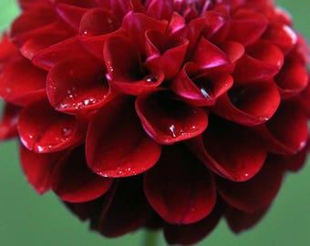red, flower, nature, wildlife