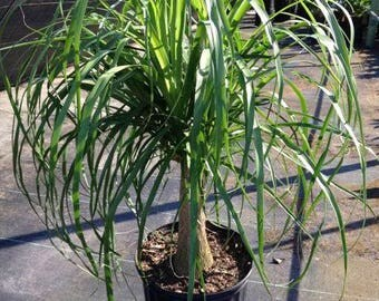 Starter-Pony Tail Palm-Houseplant-Easy Care Plant-Tropical-Indoor Plant-