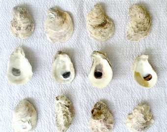 12 Oyster Shells