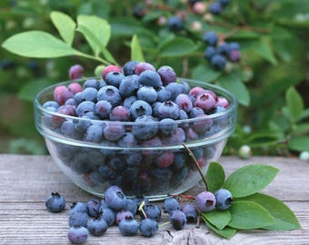 50 100 Seeds/Pack (50 Minimum), Blueberry Fruits Seeds, Bilbery