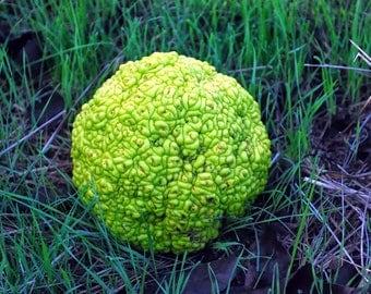 Osage Oranges (Hedge Apples) For Sale-Organic-Natural Pest Control