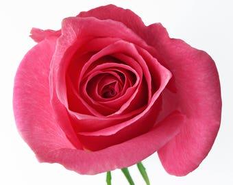 Deep Pink Rose Bud Cross Stitch Pattern