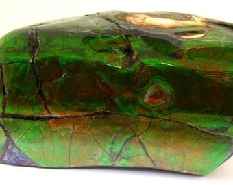 Ammolite Fossil Shell