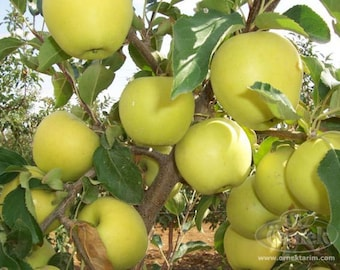 1 Yellow Delicious Apple  2 feet tall 14.99
