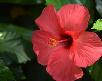 Pink Hibiscus #1