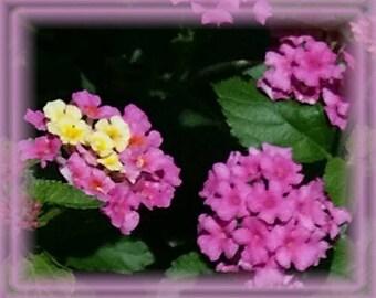 Lantana Flower Essence