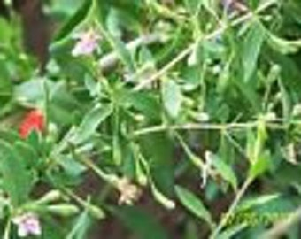 "ORGANIC GOJI BERRY plant(('crimson star') bare root 1 yr old 8-12"" lg 1 count"