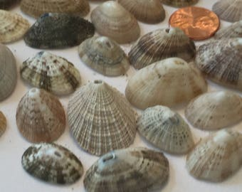458 Lot of 25 Keyhole limpets muted colors wreaths collage weddings beach craft nautical