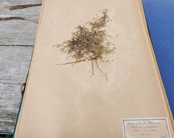 Antique-1887-1889-French-herbarium Arenaria grandiflora L