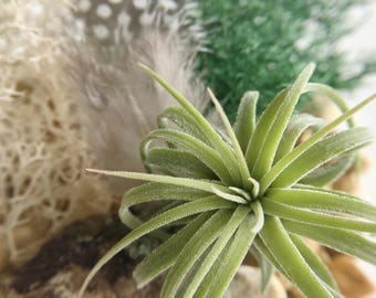 Air Plant Terrarium  Woodland // Hanging Terrarium - Tillandsia - Airplant - Guinea Feather Nature - Woodland - Reindeer Moss - Moss - Love