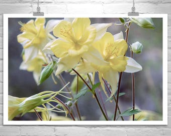Columbine Flowers, Wildflower Print, Nature Photography, Floral Art, Flower Photography, Flower Print, Spring Flowers, Wilderness Art
