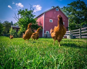 Chickens on a Farm Photograph