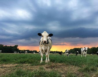 Cow, Stormy Sky, Farm Photography, Cows, Weather Photography, 8X10 Mat