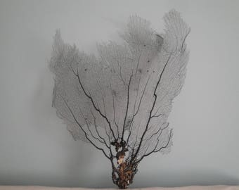 "18"" x 22.5""  Natural Black Color Caribbean Sea Fan Reef Coral"