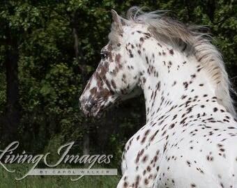 Spotted Stallion's Portrait - Fine Art Horse Photograph - Horse - Knabstrupper - Horse Photograph - Fine Art Print