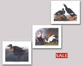 Set of 3 Duck Prints - American Scoter Duck Art, Eider Duck Art, Velvet Duck Art (John James Audubon Bird Prints) SALE