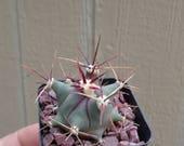 Emory's Barrel Cactus-Ferocactus Emoryii