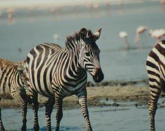Zebras in river in the wild African Safari Kenya Tanzania wild animals Serengeti