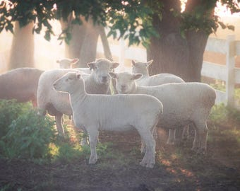 Sheep, photography,Southdown, fine art photography, photographic print, scenic, wall decor,nursery