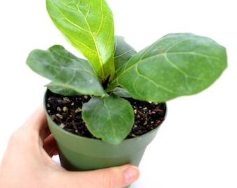 "9Greenbox - Fiddle Leafed Fig, Ficus lyrata - 4"" Pot"