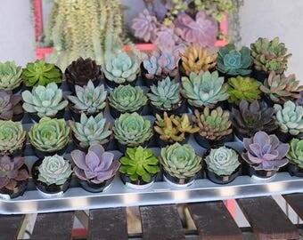 "30 Gorgeous ROSETTE Succulents in their 2.5"" round plastic containers Ideal for Wedding FAVORS party gifts"