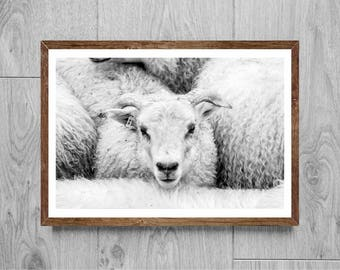 Black and white photography - Sheep photography - Iceland photography - Iceland nature photography - Iceland sheep - Nature photography
