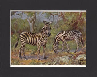 Grants Zebra Print 1923 By Edward Miner Print of Signed Painting Mounted with Mat -  Grants Zebra Horse Print Zebra Painting Zebra Art
